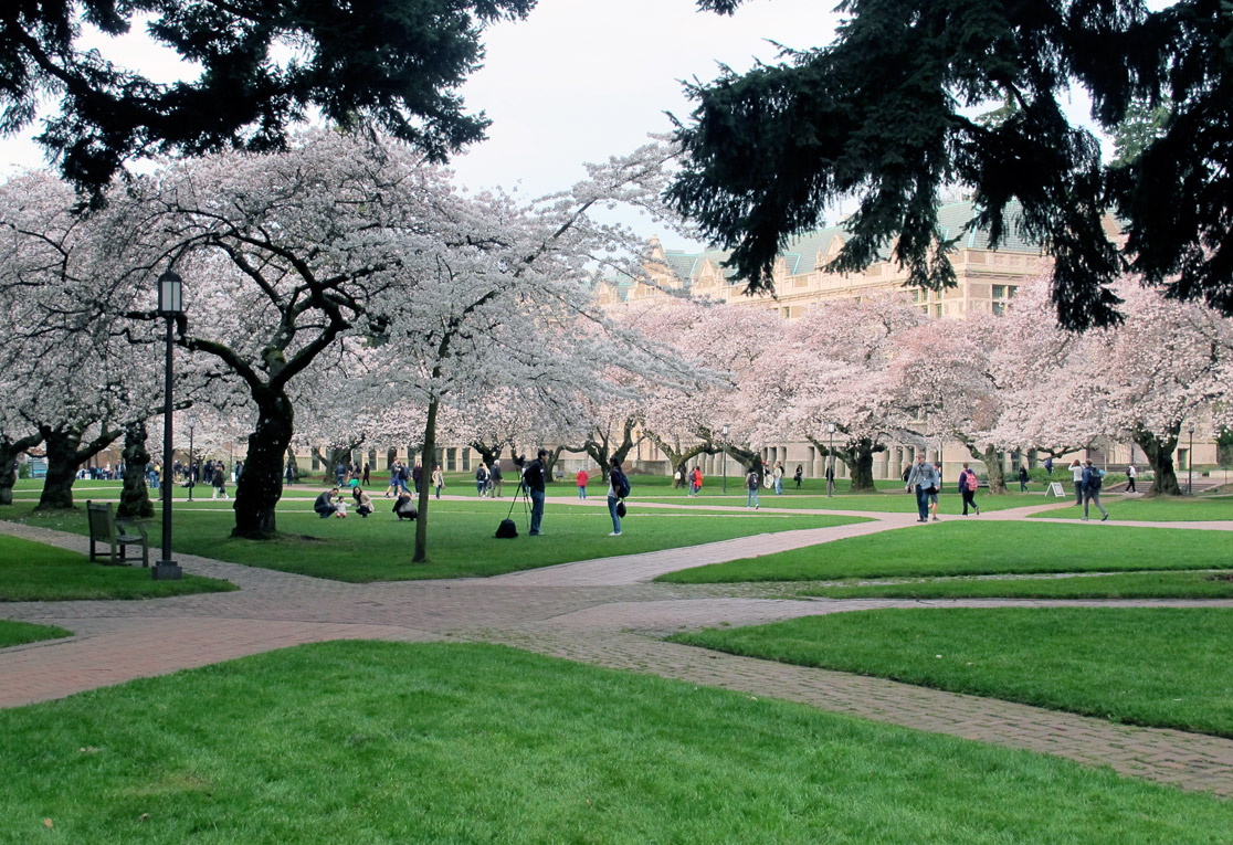 Photo: the University of Washington, where the cherry trees were in full bloom..